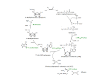 Pathway map of Ethylene biosynthesis