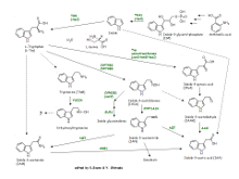 Pathway map of Auxin biosynthesis